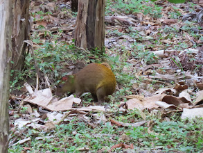 Photo: Let's see some interesting animals. Agouti looks like a large guinea pig.