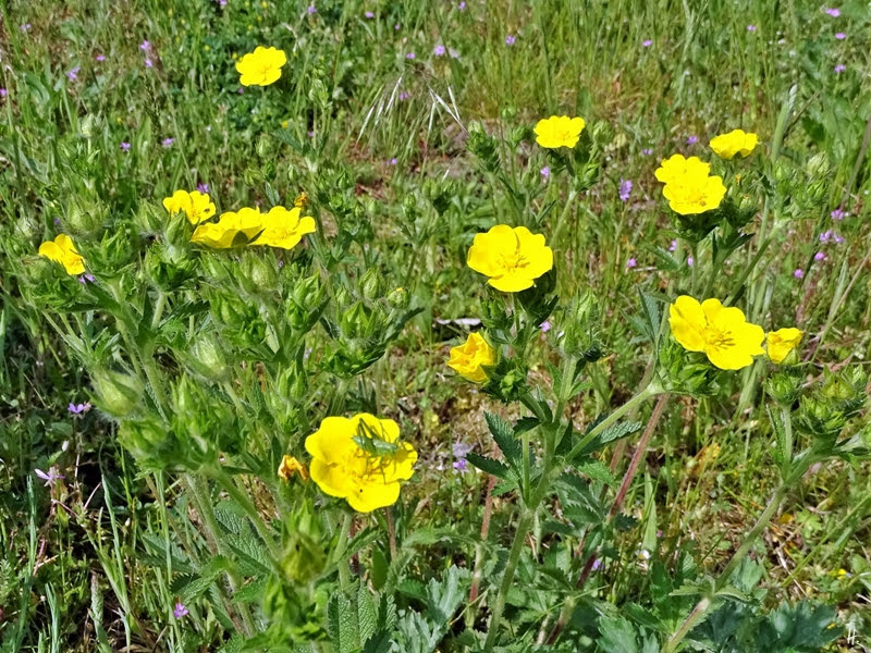 2019-05-21 LüchowSss Garten Hohes Fingerkraut (Potentilla recta) + Grünes Heupferd -Larve (Tettigonia viridissima) (1)