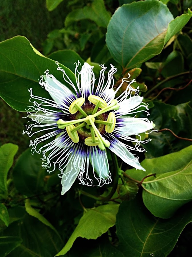 Passion Flower by Vanessa Lazzarini - Nature Up Close Flowers - 2011-2013 ( portraiture, iphone, flower, nature, flowers )