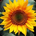 Sunflower Wallpaper 4K Latest APK