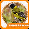 Brazilian Pintasilgo Birds APK