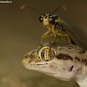 Sind Sand Gecko