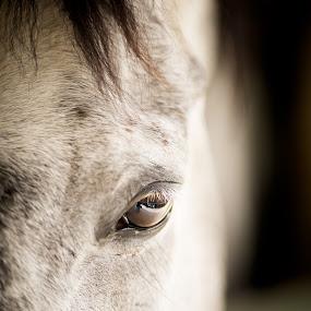 Look At... by Cristina Casati - Animals Horses ( horse, white, animal, eye )