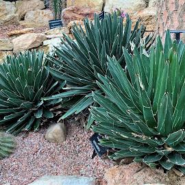 Cacti  by Carol Leynard - Instagram & Mobile iPhone ( arid garden, cactus, cacti )