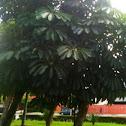 Árvore Guarda-Chuva  Árvore Polvo