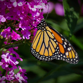 Monarch Butterfly by Satyam Muench - Animals Insects & Spiders
