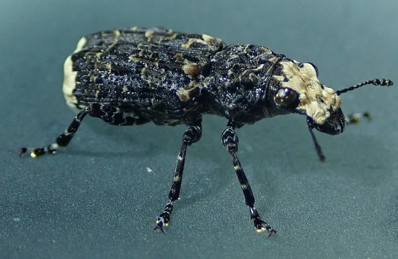 Scarce Fungus Weevil (Platyrhinus resinosus)
