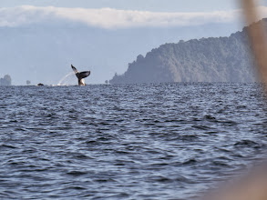 Photo: A humpback whale displays in Drakes Bay of the Osa peninsula.