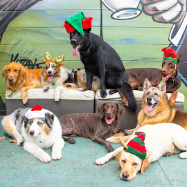 Holiday Pic by Meaghan Browning - Animals - Dogs Portraits ( holiday, dogs, christmas, group, variety )