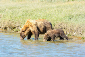 Photo: Mom and Cub take a drink