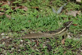 Photo: Basiliscus basiliscus 1, Esquinas Rainforest (8:42/-83:12), 18-05-2006, Author: Erwin Holzer, det. Gerardo Chaves