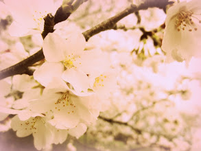 Photo: Rose-colored photo of cherry blossoms at Eastwood Park in Dayton, Ohio.