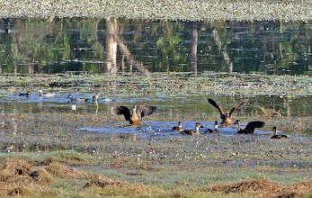 Photo: Day 3 - Wandering Whistling-ducks and Green Pygmy Geese at Anbangbang Billabong  © Ian Morris