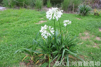 Photo: 拍攝地點: 梅峰-黑水塘 拍攝植物: 百子蓮 拍攝日期:2013_07_30_FY