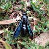 Blue Flower Wasp