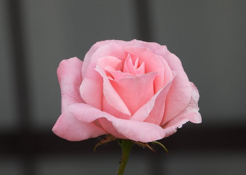 Rosà rosa di Save55