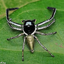 Giant Jumping Spider