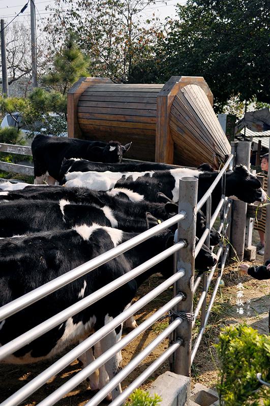 禾家牧場乳牛