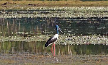 Photo: Day 3 -  Male Black-necked Stork at Anbangbang Billabong © Ian Morris