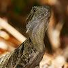 Eastern Water Dragon (juvenile male)