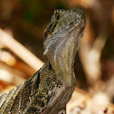 Eastern Water Dragon (juvenile male)