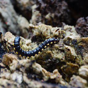 Secluded Territory by Wohvener Amada - Animals Insects & Spiders ( nature, backyard, insect, millepede,  )
