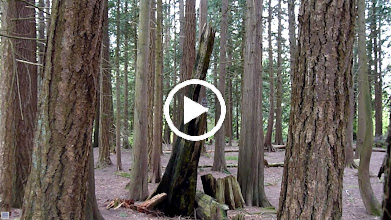 Video: Barred Owl hunting