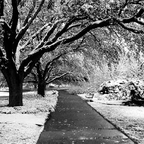 Winter storm in Texas by Anna Cole - Black & White Landscapes ( winter, park, black and white, snow, texas, snowy, trees, landscape, storm,  )