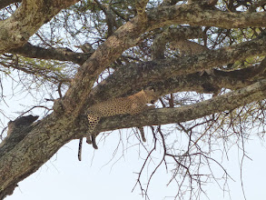 Photo: Resting after moving prey into tree. Can't defend against lions, hyenas, vultures, baboons, so must get kill up for later consumption. Again, see the LEOPARD album for more video.