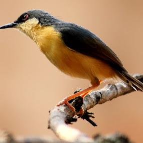 Ashy prinia by Pravin Dabhade - Animals Birds