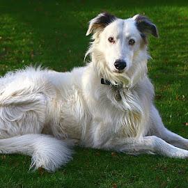 My Gorgeous Boy by Chrissie Barrow - Animals - Dogs Portraits ( fur, ears, white, lurcher, portrait, dog, pet, lying )