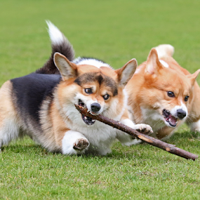 Corgi action by Mia Ikonen - Animals - Dogs Playing ( grass, guarding, finland, fun, running, playing, canine, pet, action, pembroke welsh corgi, summer, motion, dog, mia ikonen,  )