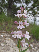 Photo: Penstemon albidus south of camp