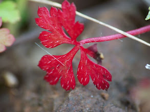 Photo: Geranium robertianum