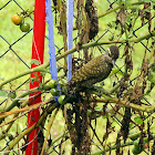 Pica-pau-do-campo (Campo Flicker)