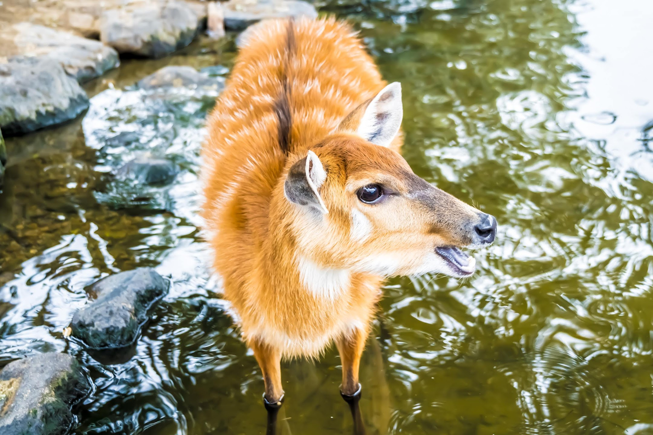 Kobe Animal Kingdom sitatunga