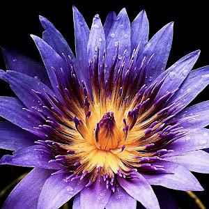 Wild Lotus.jpg