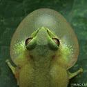 Beddome's bush frog