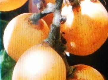 LOQUATS......Wash, peel remove seeds and slice. Serve in fruit salads or make jam.  Loquats keep...