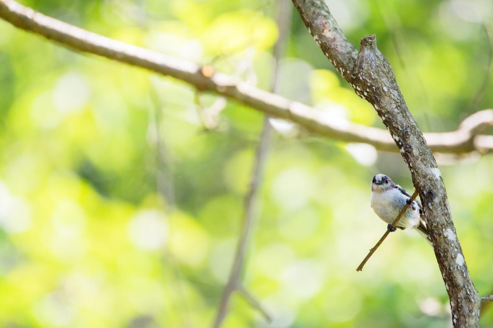 Photo: 見ているよ People watching.  見てる こちらを見てる 森へと訪れる人間たちを 遠くからじっと 見ているよ  Long-tailed Tit. (エナガ)  #birdphotography #birds  #cooljapan #kawaii  #nikon #sigma   Nikon D7200 SIGMA 150-600mm F5-6.3 DG OS HSM Contemporary