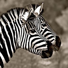 Zebra Twins Portrait by Pieter J de Villiers - Black & White Animals