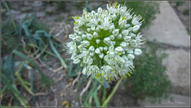 Photo: Ceapă (Allium)  - din Turda, Str. Salinelor - 2019.06.26