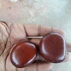 Yanai kozhinji or papparan gottai