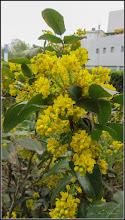 Photo: Mahonia  (Mahonia aquifolium) - din spatiul verde din fata Catedralei - 2018.04.1
