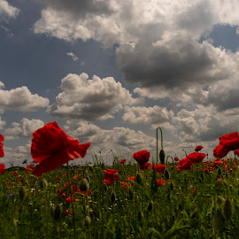 Poppy field by Ana France - Landscapes Prairies, Meadows & Fields