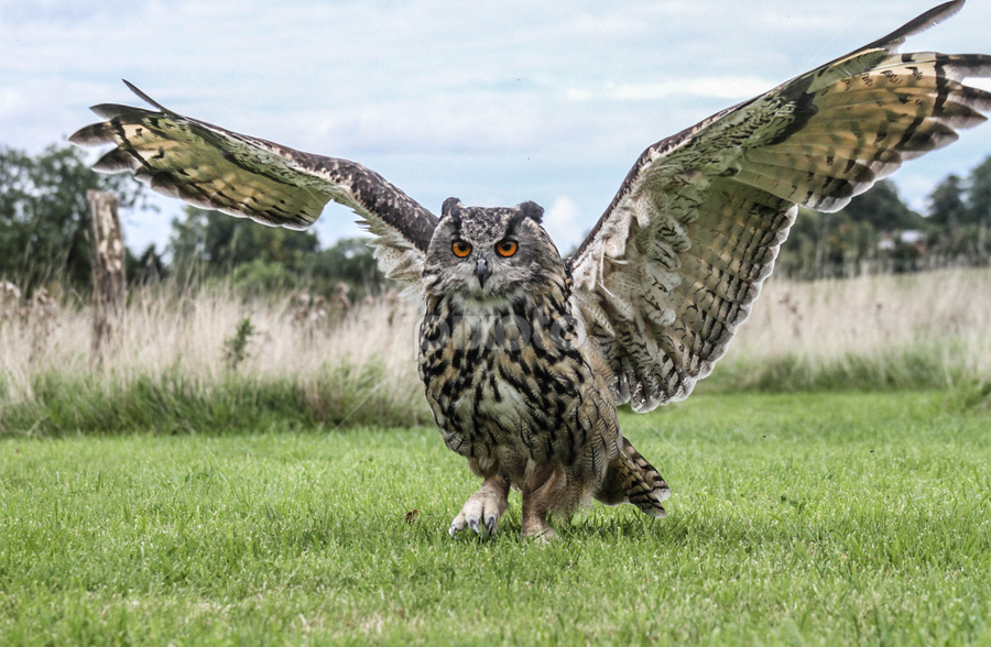 Wingspan by Garry Chisholm - Animals Birds ( bird, garry chisholm, nature, wildlife, prey, eagle owl )