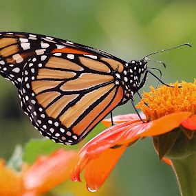 Monarch on a Mexican Sunflower by Michael Velardo - Animals Insects & Spiders ( monarch butterfly, wildlife, fiesta del sol sunflower, mexican sunflower,  )