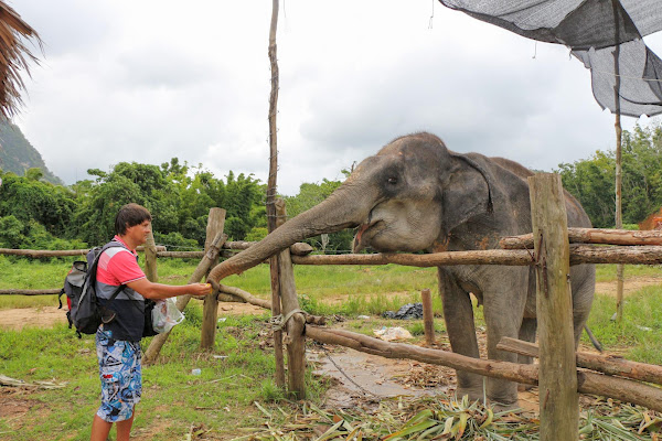 Feed your elephant with locally grown banana