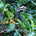 Bushy-crested Hornbill