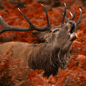 Red deer stag by Peter Kostov - Animals Other Mammals ( deer, stag, mammal, nature, animal, wildlife,  )